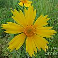 Lanceleaf Coreopsis by Jamie  Smith