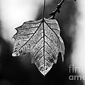 Last Standing Leaf by Paulo Perestrelo
