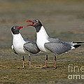Laughing Gull by Anthony Mercieca
