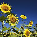 Laval, Quebec, Canada Sunflowers by Perry Mastrovito