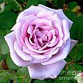 Lavendar Rose by Alys Caviness-Gober