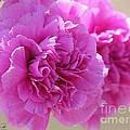 Lavender Carnations by J McCombie