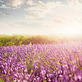 Lavender Field In Provence by Brzozowska