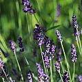Lavender by Michael Saunders
