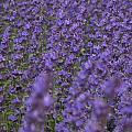 Lavender by Ronald Jansen