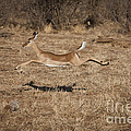 Leaping Impala by John Shaw