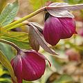 Lenten Roses  by Mel Hensley