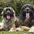 Leonberger Dogs by Jean-Michel Labat