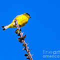 Lesser Goldfinch by Robert Bales