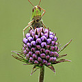 Lesser Marsh Grasshopper Chorthippus by Matthew Cole