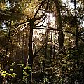 Light In The Forest by Allan Van Gasbeck