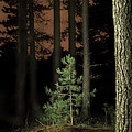 Lightpainting The Pine Forest New Growth by Dirk Ercken