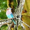 Lilac Breasted Roller by Tony Murtagh