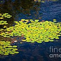 Lily Pads by Les Palenik