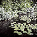 Lily Pads On Dark Water by Elena Elisseeva