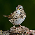 Lincoln Sparrow by Anthony Mercieca