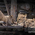 Lion Cubs by David Rucker