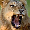 Lion by Johan Swanepoel