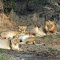Lion Pride by Paul Fell
