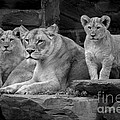 Lioness And Cubs by David Rucker