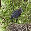 Little Blue Heron Nesting Texas by Tom Vezo