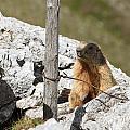 Little Marmot by Antonio Scarpi