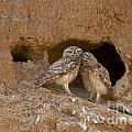 Little Owl Athene Noctua by Eyal Bartov