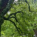 Live Oak Tree At Oak Alley Plantation by Denise Mazzocco