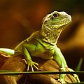 Lizard by FL collection