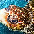 Loggerhead Sea Turtle by Millard H Sharp