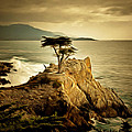 Lone Cypress Detail 2 by Barbara Snyder