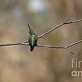 Lone Hummingbird by Jacklyn Duryea Fraizer