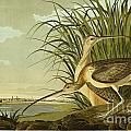 Long Billed Curlew by Celestial Images