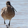 Long-billed Curlew by Meg Rousher