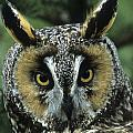 Long-eared Owl Up Close by Larry Allan