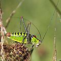 Long-horned Katydid Tettigonid by Jivko Nakev