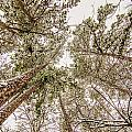 Looking Up At Snow Covered Tree Tops by Alex Grichenko