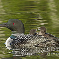 Loon Parent With Two Chicks by John Vose