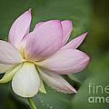 Lotus Dance by Linda D Lester