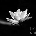 Lotus by Scott Pellegrin