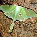 Luna Moth by Tanya Hamell