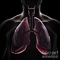 Lung Anatomy by Science Picture Co