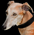 Lurcher by Linsey Williams