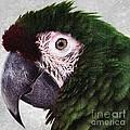 Macaw by Lilliana Mendez