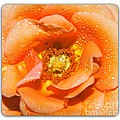 Macro Image Of A Rose by Stefano Senise