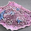 Macrophage Engulfing Tb Bacteria, Sem by Science Photo Library