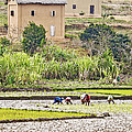 Madagascan Paddyfield by Liz Leyden