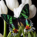 Madagascar Butterfly by Garry Gay