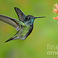 Magnificent Hummingbird by Anthony Mercieca