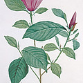 Magnolia Discolor, Engraved By Legrand by Henri Joseph Redoute